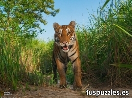 Tigre en la sabana